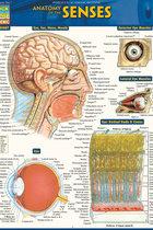 Anatomy of the Senses Quickstudy