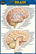 Anatomy of the Brain Pocket Guide